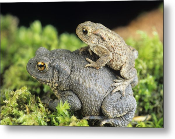 Common Toads Mating Metal Print by David Aubrey