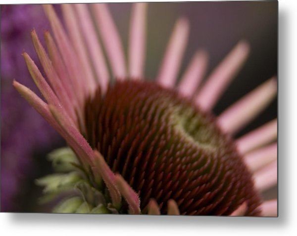 Cone Flower Studies 2012 Metal Print