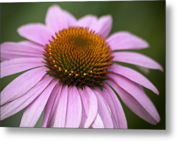 Coneflower Closeup Metal Print