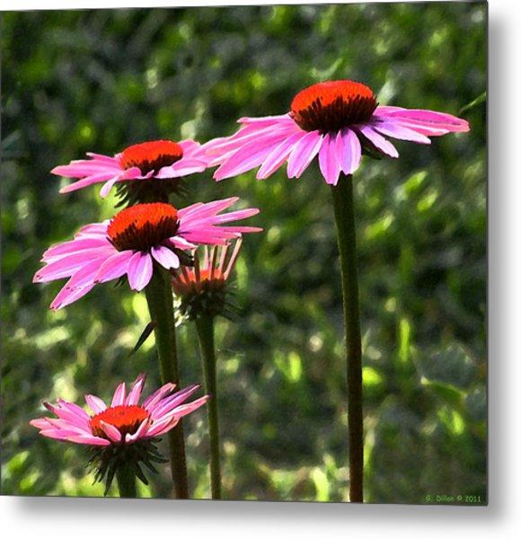 Coneflower Echinacea Purpurea Metal Print