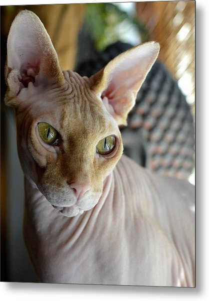 Contemplative Sphynx Metal Print
