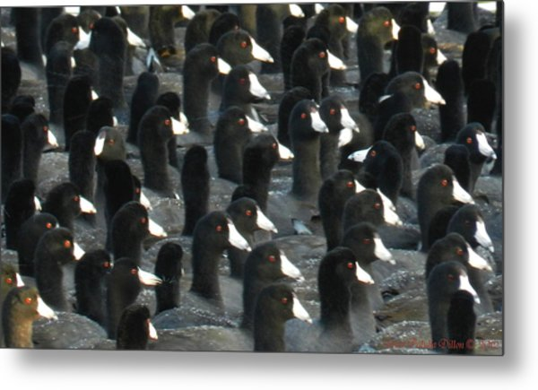 Metal Print featuring the photograph Coots A Lot by Grace Dillon
