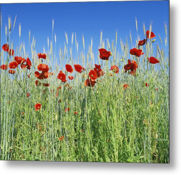 Corn Poppies (papaver Rhoeas) Metal Print by Bjorn Svensson