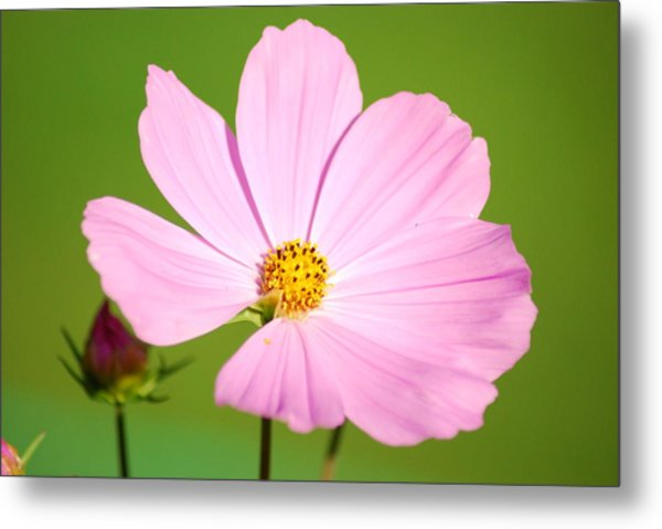 Cosmos And Bud Metal Print