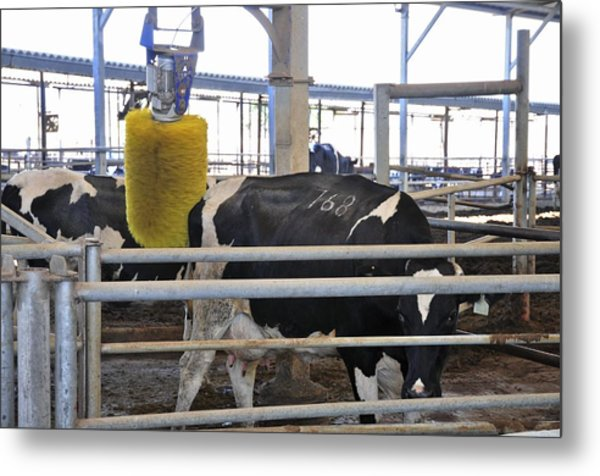 Cow Brush Metal Print by Photostock-israel