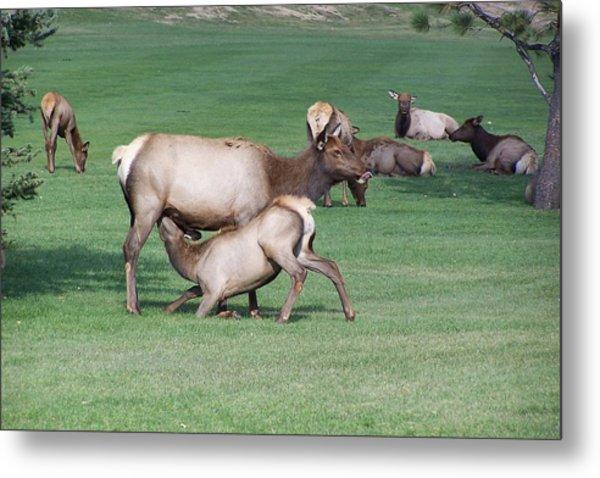 Cow Elk Feeding Calf Metal Print by Richard Adams