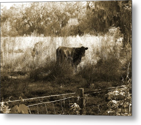 Cows In Pasture Metal Print by Pamela Stanford