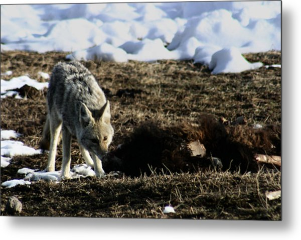 Coyote Yellowstone National Park Metal Print