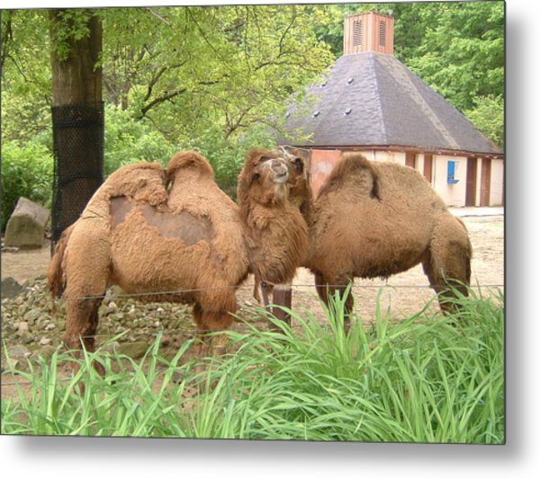 Cozy Camels - Cleveland Metro Zoo 1 Metal Print by S Taylor