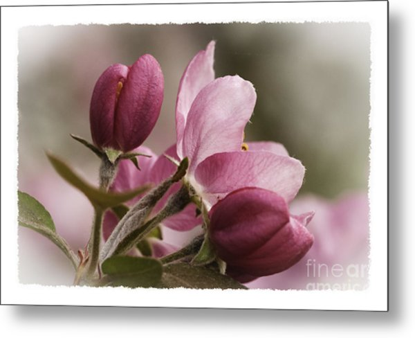 Crab Apple Blossoms II Metal Print