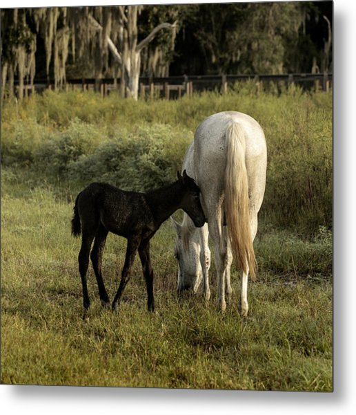 Cracker Foal And Mare Metal Print