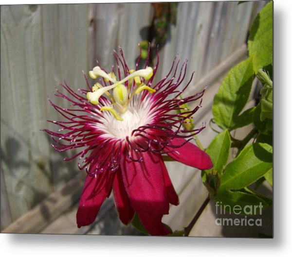 Crimson Passion Flower Metal Print by Jane Whyte