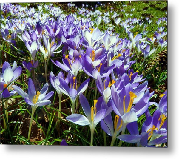 Crocuses Metal Print by Janice Drew
