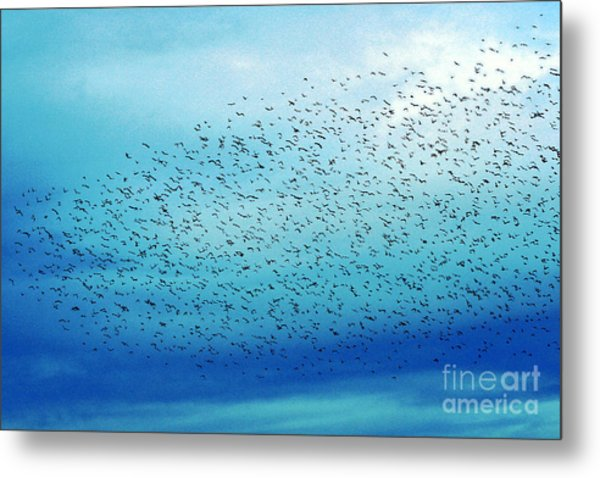 Crows On The Move Metal Print