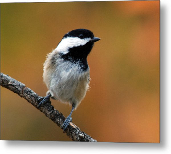 Curious Black-capped Chickadee Metal Print