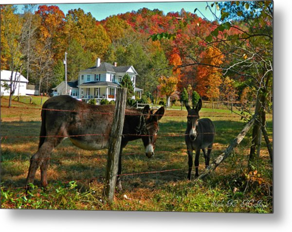Curious Donkeys  Metal Print