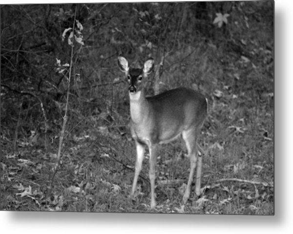 Curious Fawn Metal Print by Jake Busby