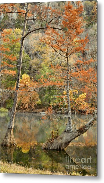 Cypress Trees In The Morning Light Metal Print