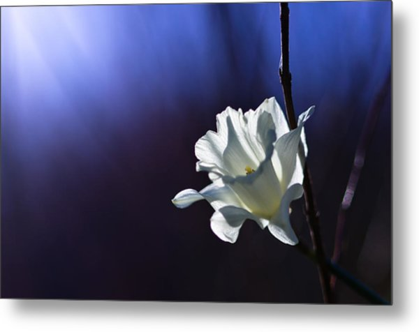 Daffodil Light Metal Print