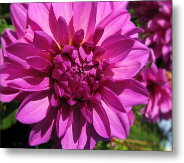 Dahlia Describes The Color Pink 1 Metal Print