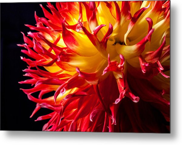 Dahlia In Flames Metal Print
