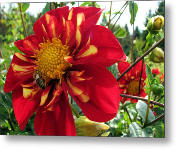Dahlia Make My Day 1 Metal Print