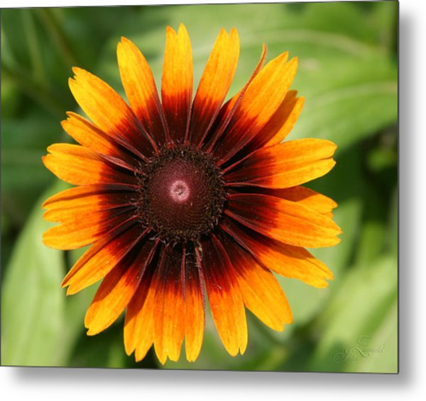 Daisey In Full Bloom Metal Print