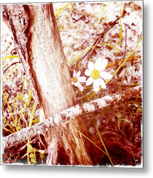 Daisy In The Rough Metal Print by Frank Winters