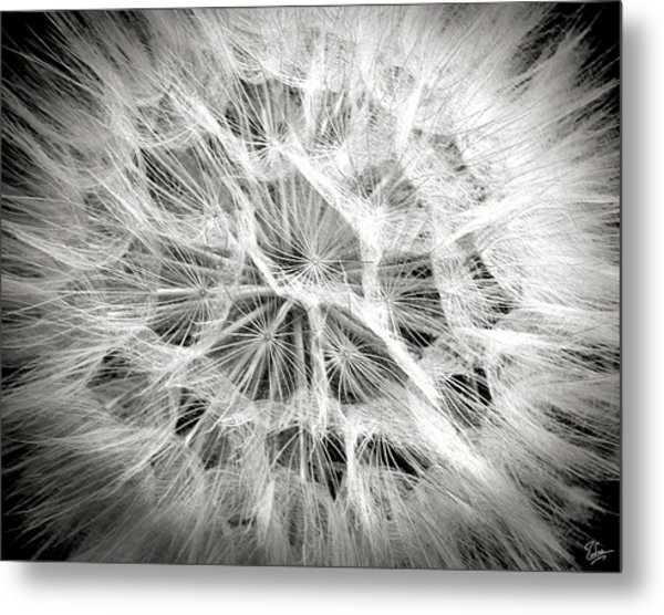 Dandelion In Black And White Metal Print