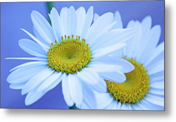 Darling Daisies Metal Print by Becky Lodes
