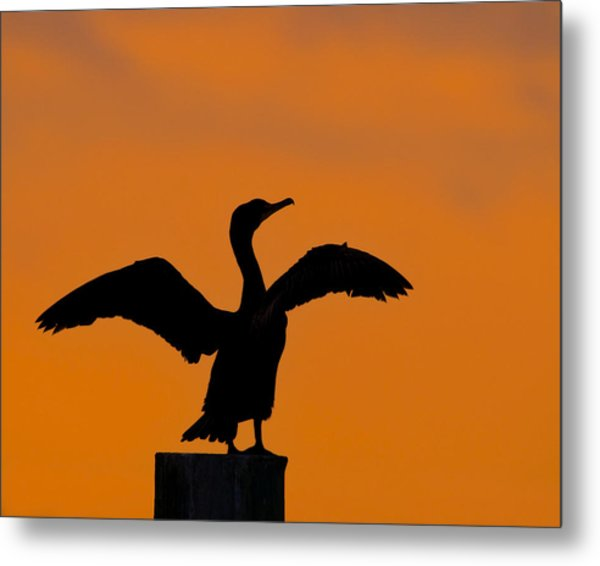 Dawn Of A Double-crested Cormorant  Metal Print