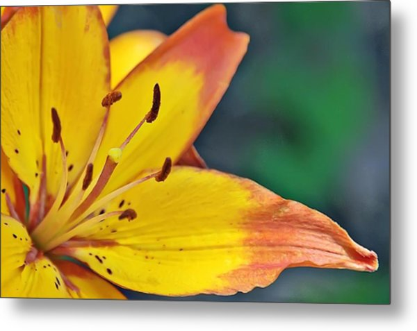Daylily In Yellow Metal Print by Tina Karle