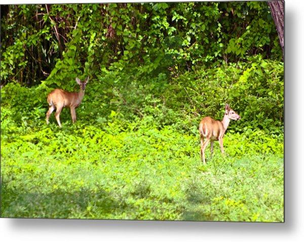 Deer On The North Of St. Croix Metal Print by David Alexander