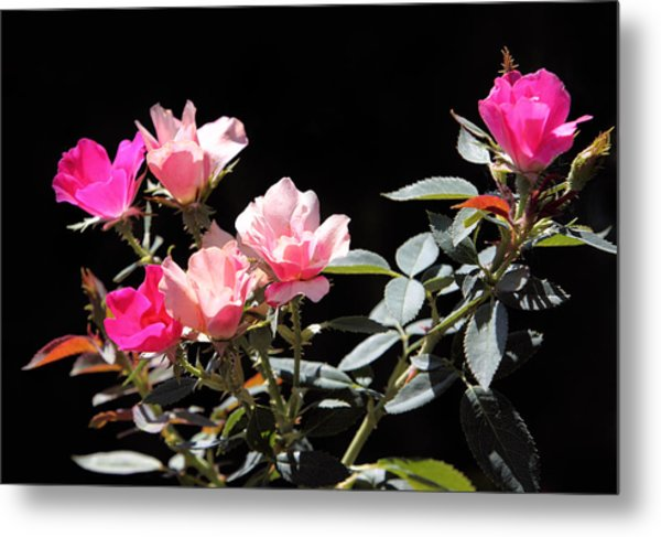 Delicate Old Fashion Pink Roses Metal Print by Linda Phelps
