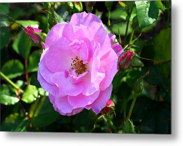 Delicate Pink Wild Rose With Dew Metal Print