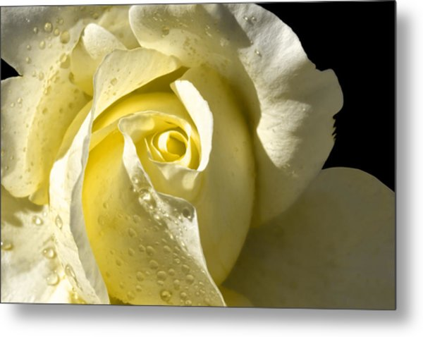 Delightful Yellow Rose With Dew Metal Print