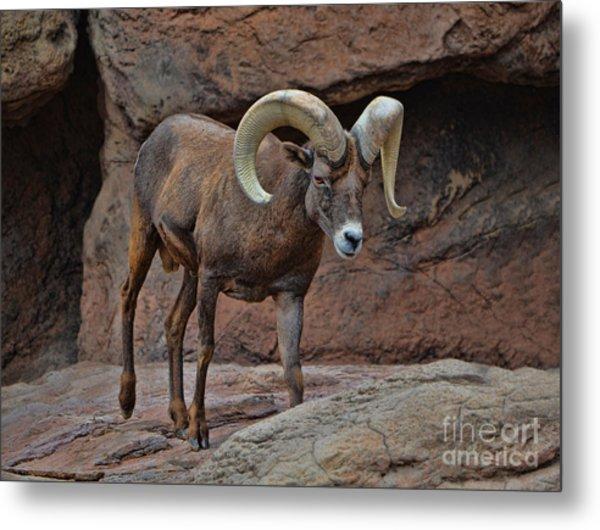 Desert Bighorn Sheep Ram I Metal Print