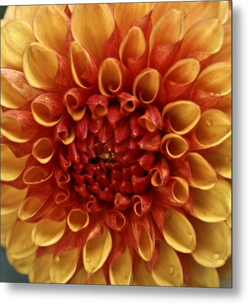 Dew Kissed Chrysanthemum Metal Print by John Black