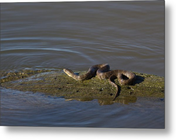 Diamondback Water Snake - 4011 Metal Print