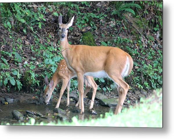 Doe And Fawn In The Creek Metal Print