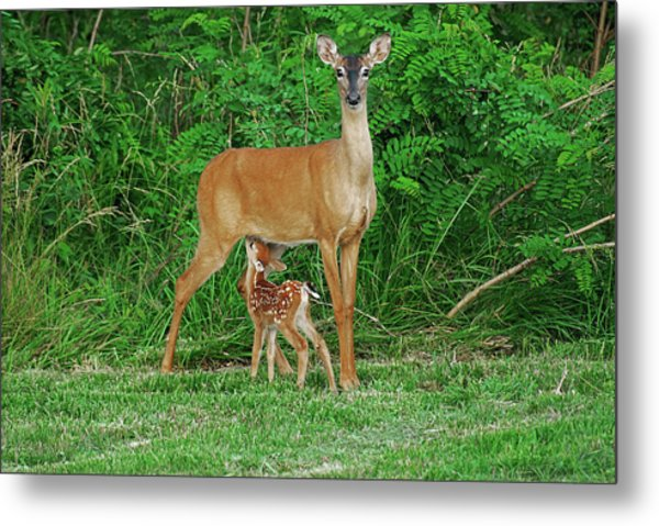 Doe And Nursing Fawn Metal Print by Fred Kirchhoff