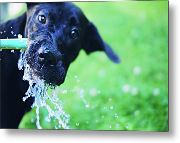 Dog Drinking From A Water Hose Metal Print