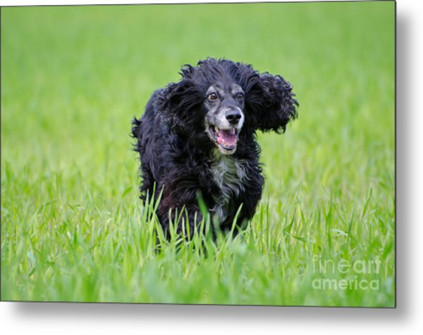 Dog Running On The Green Field Metal Print