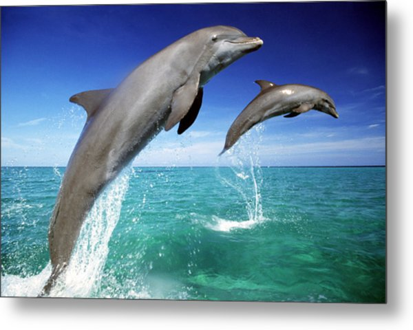 Dolphins, Tursiops Truncatus, Two Leaping Out Of Sea Metal Print by Mike Hill