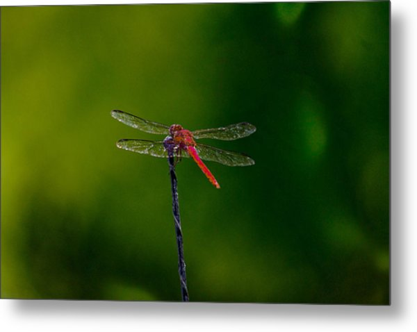 Dragon Fly At Rest Metal Print by David Alexander