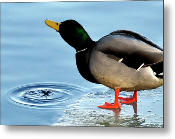 Drinking Duck Metal Print