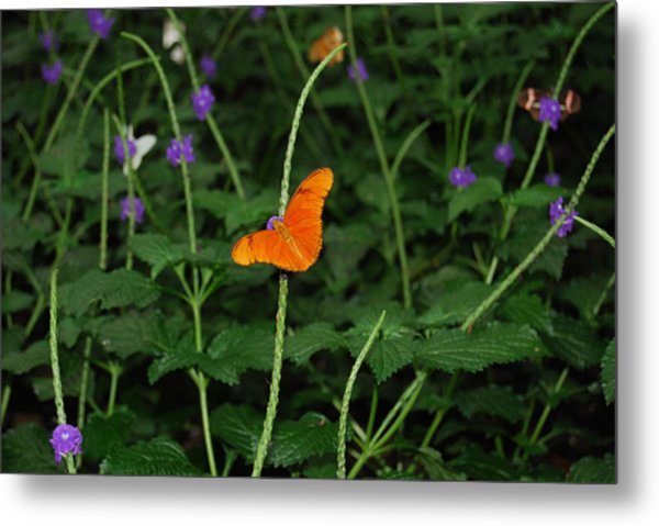 Dryas Iulia  Butterfly Metal Print by Kim French