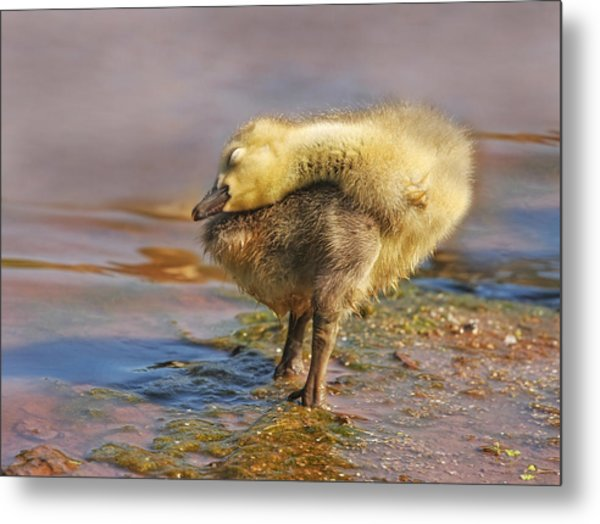 Drying Off Metal Print