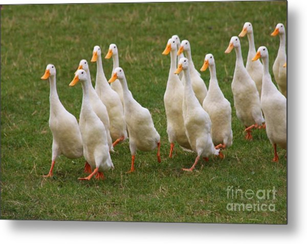 Duck March Metal Print