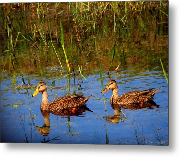 Ducks Afloat Metal Print